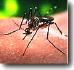 Aedes aegypti picando