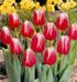 Tulipanes Dr. James Parkinson (en su conmemoración)