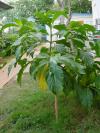 Planta de noni