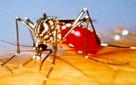 Aedes Egiptis